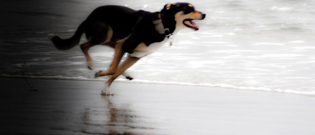 ZigDog Running at Beach